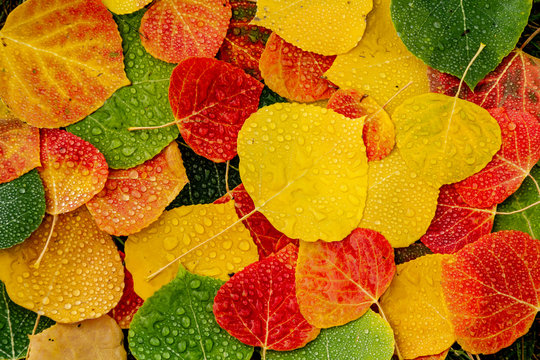Colorful Aspen tree leaves on ground with water drops
