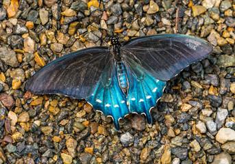 Blue Black Pipevine Swallowtail Butterfly Seattle Washington