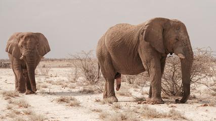 Elefantenbullen, Elefanten Bulle mit Penis