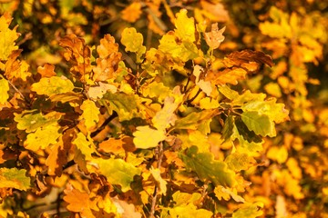 Autumn Colorful Oak Leaves in beautiful light. Evening autumn light. Autumn in the woods.
