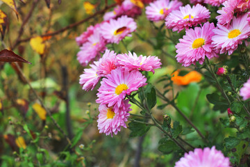 Pink chrysanthemums in the fall