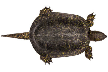 Central Asian tortoise, lat. Emys orbicularis, isolated on white background