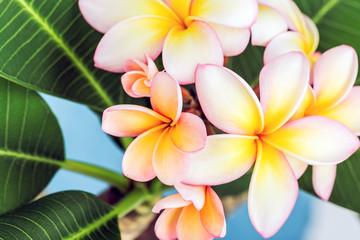 Plumeria or frangipani flower, Tropical flower. Wall mural