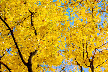Maple  with thick yellow leaves on an autumn sunny day_
