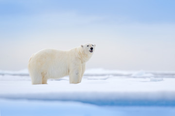 Deurstickers Ijsbeer Polar bear on drift ice edge with snow and water in Russian sea. White animal in the nature habitat, Europe. Wildlife scene from nature. Dangerous bear walking on the ice, beautiful evening sky.