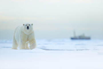 Bear and boat. Polar bear on drifting ice with snow, blurred cruise vessel in background, Svalbard, Norway. Wildlife scene in the nature. Cold winter in the Arctic. Arctic wild animals in snow.
