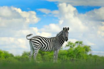 Zebra with blue storm sky with clouds. Burchell's zebra, Equus quagga burchellii, Nxai Pan National Park, Botswana, Africa. Wild animal on the green meadow. Wildlife nature on African safari.