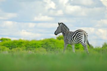 Fotomurales - Wildlife nature on African safari. Zebra with blue storm sky with clouds. Burchell's zebra, Equus quagga burchellii, Nxai Pan National Park, Botswana, Africa. Wild animal on the green meadow.
