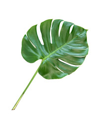 Green leaf exotic plant monstera isolated white background