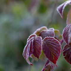 Hoarfrost on a raspberry leaf. Autumn. close up