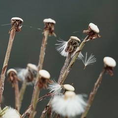 dandelions in autumn
