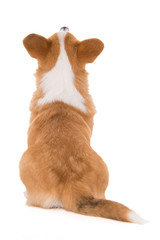 Welsh corgi dog from behind looking up - isolated on white background