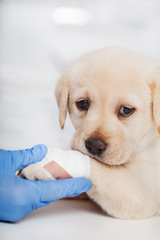 Cute labrador puppy dog with bandage on its paw helped by veterinary care professional