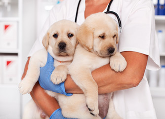 Cute labrador puppy dogs in the arms of veterinary healthcare professional
