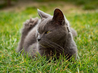 Gray fluffy cat. Cute gray kitten in the garden.