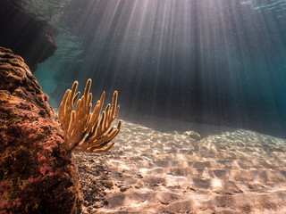 Seascape in shallow water in Caribbean Sea with various corals - wide angel of coral reef at scuba dive around Curaçao /Netherlands Antilles with soft coral in foreground and sunbeams in background