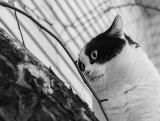 A beautiful adult young black and white cat with big eyes scrambles on a tree