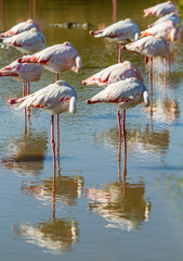 group of flamingos in a pond