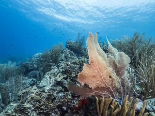 Seascape of coral reef in Caribbean Sea with sea fan  - wide angel of coral reef at scuba dive around Curaçao /Netherlands Antilles with big gorgonian coral in foreground and blue background