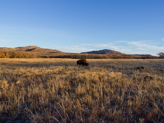 Bison (buffalo) grazing in field with mountains in background