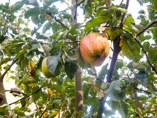 apple growing on tree macro close up nature outside natural food