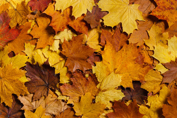 Colorful background of autumn maple leaves. Warm colors of autumn.