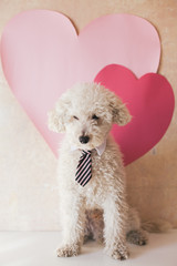 White poodle wearing a tie