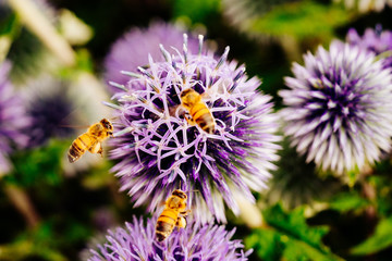 Three bees collecting pollen to make honey