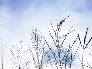 Beautiful flower grass leaf on sky and cloud background.