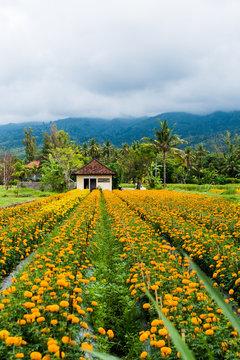 A farmhouse at the edge of a marigold field