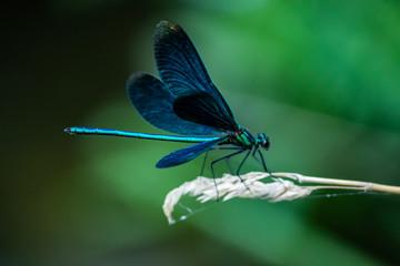 libélula turquesa