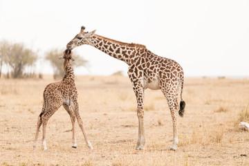 Two young giraffes playing in Maasai Mara