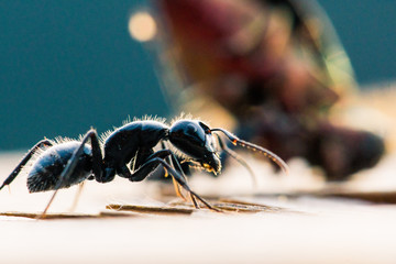 Macro image of an ant with a beetle being eaten in the background