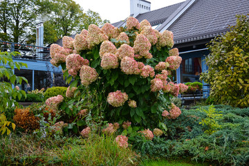 Bush of pink hydrangea with large buds. Flower arrangement in the autumn park. Ornamental garden and landscape design.