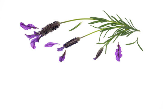 topped lavender flowers on white background with copy space below