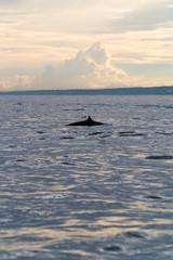 A dolphin fin surfacing at dawn
