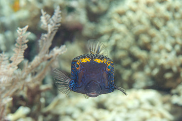 Spotted Boxfish ( Ostracion meleagris ) swimming over coral reef of Bali,Indonesia