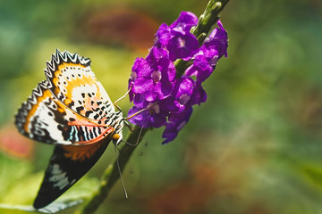 Loepard lacewing butterfly, Cethosia cyaneus, pollinating a purple flower against a soft focus background