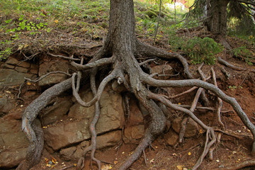bare roots of trees growing on rocks