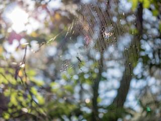 거미줄을 치고 기다리는 무당거미