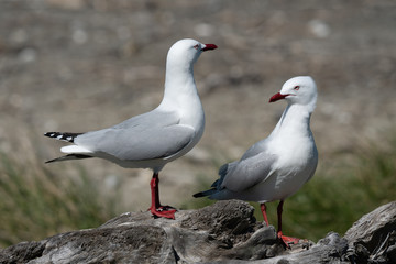 Silver Seagulls on a rock 2