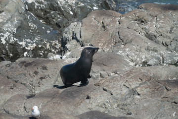 Ohau Point New Zealand Fur Seal 1