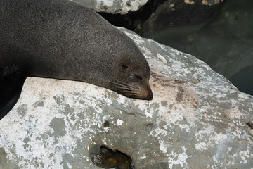 Ohau Point New Zealand Fur Seal 11