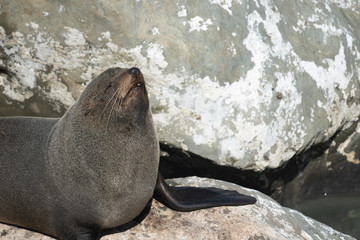 Ohau Point New Zealand Fur Seal 12