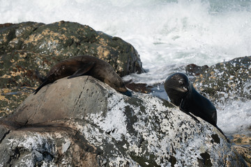 Ohau Point New Zealand Fur Seal 13