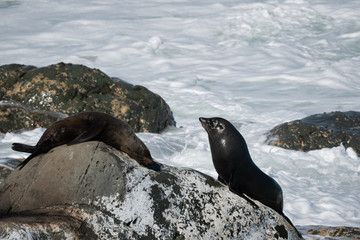 Ohau Point New Zealand Fur Seal 14