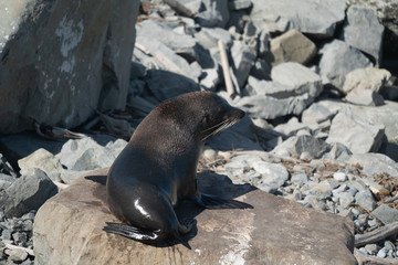Ohau Point New Zealand Fur Seal 22