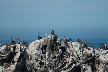 Spotted shags on a rock in New Zealand 1