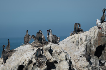 Spotted shags on a rock in New Zealand 2