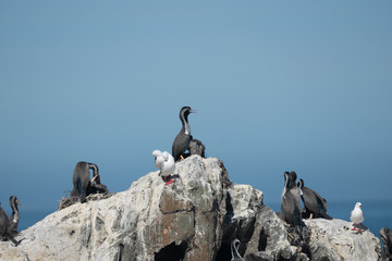 Spotted shags on a rock in New Zealand 3